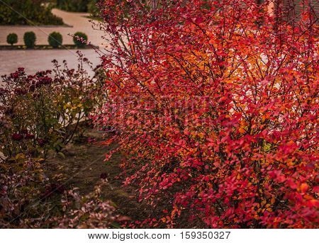 Barberry bush (Berberis thunbergii), colorful floral red background. Colorful autumn wild bushes with red leafs in the park.