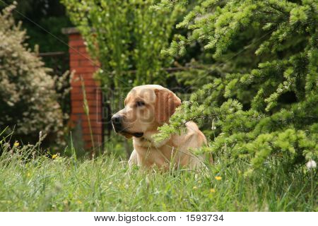 Labrador In The Meadow