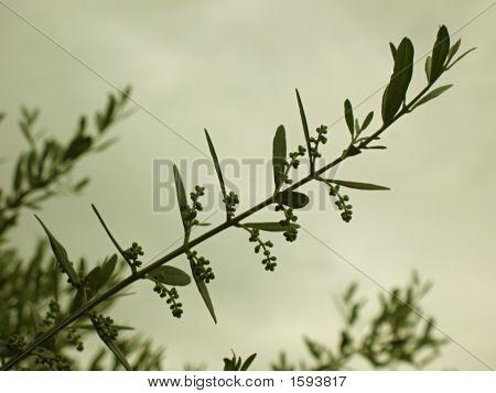 Olive Branch 1 Sepia