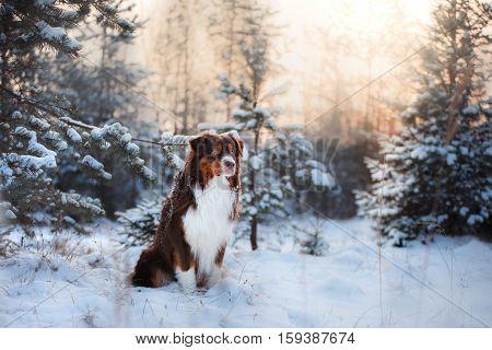 Australian Shepherd Dog Outdoors In The Snow In The Winter