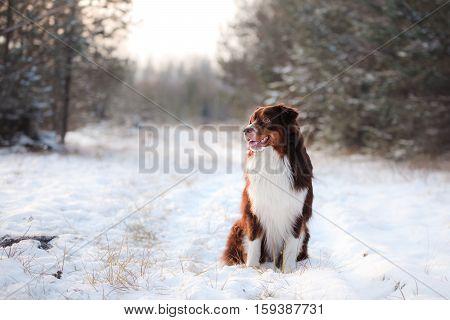Australian Shepherd Dog Outdoors Sitting In The Snow I