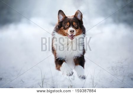 Australian Shepherd Dog Outdoors Running In The Snow