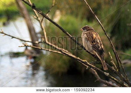 Sparrow sitting on a thin branch above small river