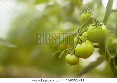 Green Tomatoes Plantation. Tomato Plants In Greenhouse.