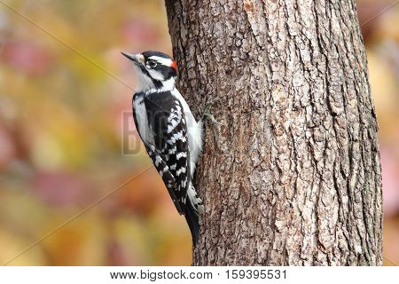 A male downy woodpecker (Picoides pubescens) perching on a tree in Fall.