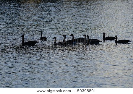 Silhouetted Geese Swimming on an Evening Pond