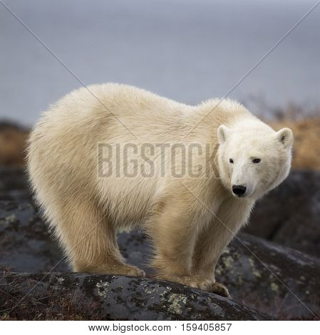 Polar bear sow, standing on a boulder.  Autumn in Churchill, Manitoba, Canada.