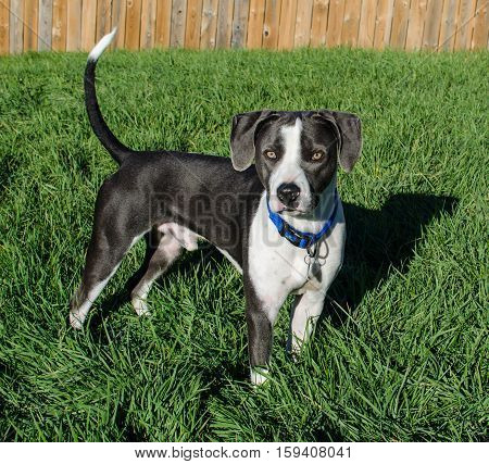 Young male black and white hound pit bull mix posing in green grass.