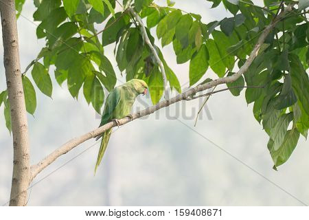 The rose-ringed parakeet (Psittacula krameri) also known as the ring-necked parakeet sitting on a tree branch. shot at Kolkata Calcutta West Bengal India