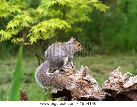Squirrel Displaying