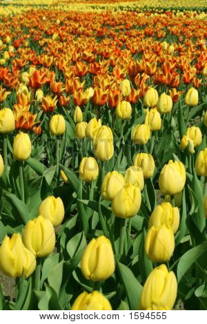 Many Tulips In The Park