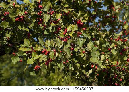 deciduous tree of hawthorn (Crataegus coccinea) bears fruit