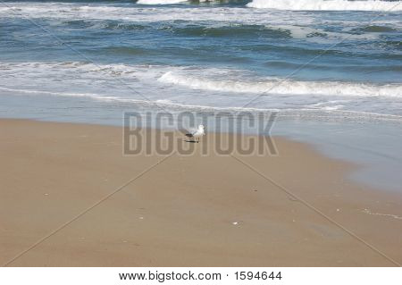 Virgina Beach Seagull