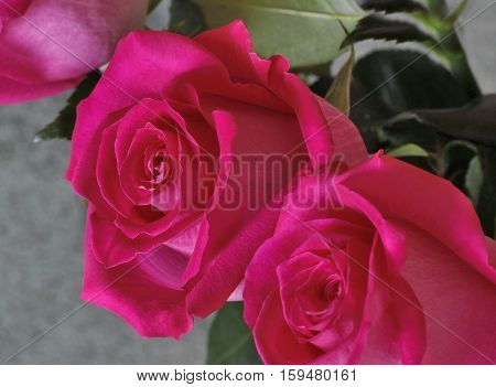 Two big beautiful red rose with green leaves. Presents closeup.