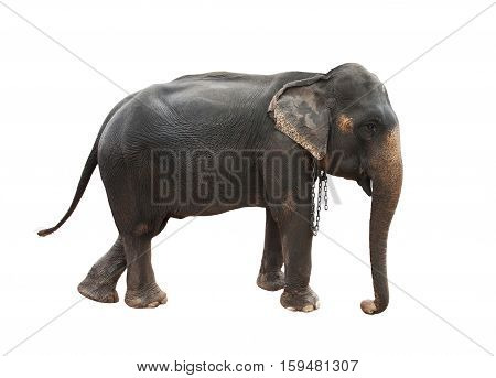 full body side view of female indian elephant with steel chain on neck isolated white background