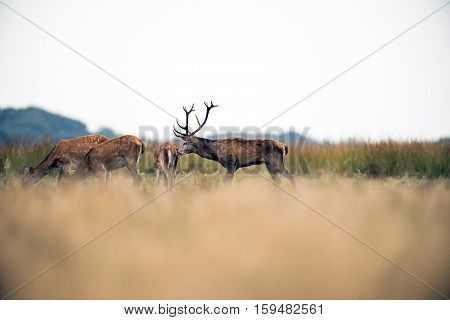 Red Deer Stag Smelling Ass Of Hind In Field During Rutting Season. National Park Hoge Veluwe. The Ne
