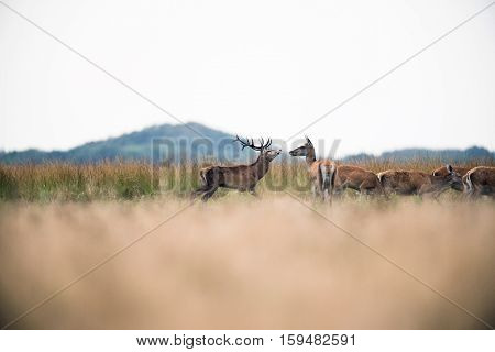 Red Deer Stag In Rutting Season Walking Between Hinds. National Park Hoge Veluwe. The Netherlands.
