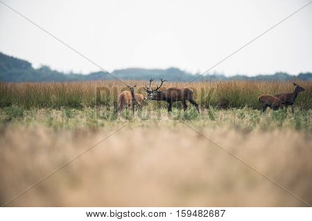 Red Deer Stag Picking Up Scent Of Hinds During Rutting Season. National Park Hoge Veluwe. The Nether