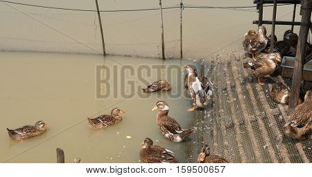 ducks swimming in a pond with shelter