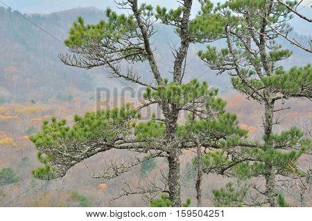 The tree-top of cedar pine (Pinus koraiensis).