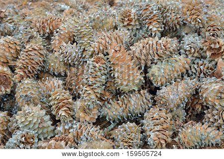 A close up of the cones of cedar pine (Pinus koraiensis).