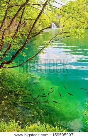 Fish In Pure Water Of The Plitvice Lakes