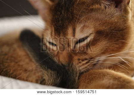 purebred sleepy abyssinian kitten resting in hat, shallow focus