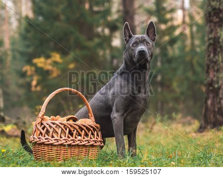Grey beautiful lonely thai ridgeback dog with a basket of mushroom in mystic forest in summer morning