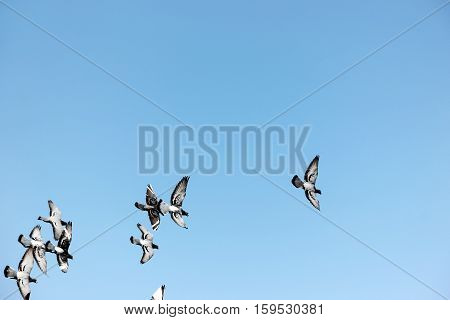 free pigeons flying in empty blue sky