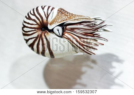 plastic model of nautilus shell with white background