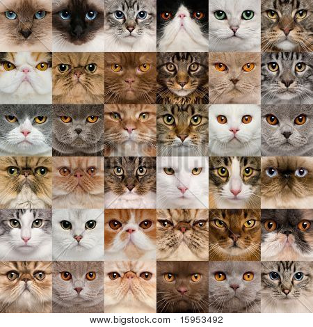 Collage de 36 cabezas de gato