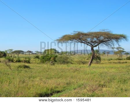 Acacia In The African Savanna, Serengeti Park, Tanzania