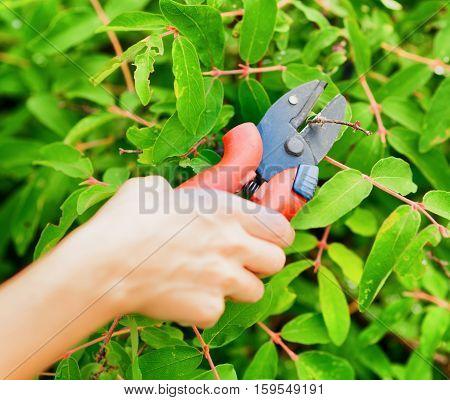 Pruning leaves with garden pruner. Work in garden.