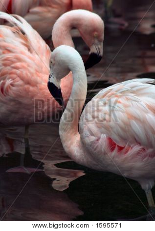 Flamingo Necks