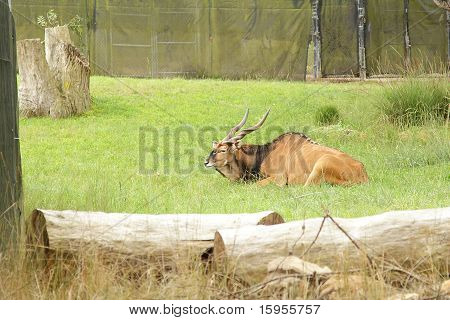 Eland In Zoo