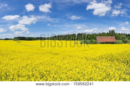 Large blooming rapeseed field at an open barn near a forest edge