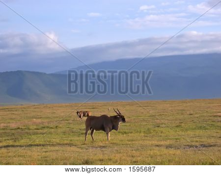 Wild Big Antelope In The African Savanna, Ngorongoro Park, Tanzania