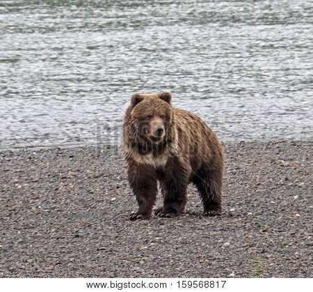 Brown bear with a natal collar ring