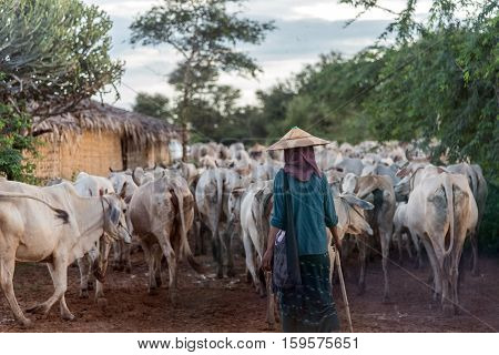 Local farmer and a large herd of cattles and cows on a dirt road in Bagan, Myanmar