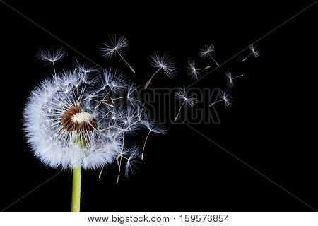 Dandelion on black Background. Nature dandelion. photo Studio