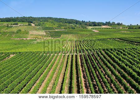 Wineyards In Rudesheim Am Rhein