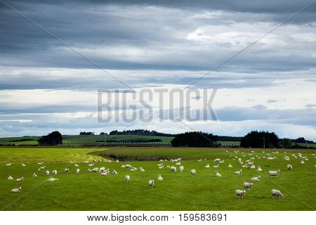 Sheeps grazing at a pasture in New Zealand