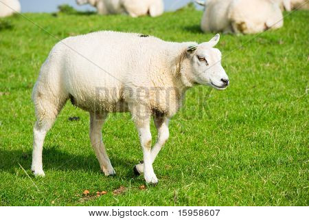 Many white sheep at the grass dike