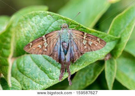 The long-tailed skipper is a spread-winged skipper butterfly found throughout tropical and subtropical South America south to Mexico and north into the southern part of the United States of America