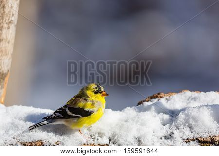 American goldfinch (Carduelis tristis) standing on a snow covered log.