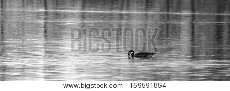 Black and white photo of a Canadian goose (branta canadensis) swimming in a lake.