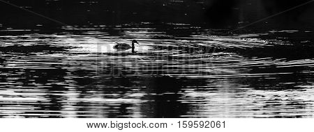Black and white photo of a Mallard duck (Anas platyrbynchos) swimming in a lake.