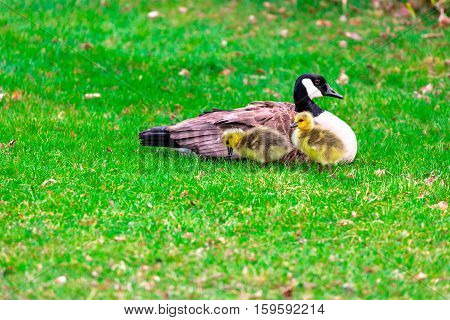 Adult Canadian goose (Branta canadensis) with two of its chicks.