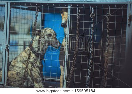 Hounds Dogs In A Cage