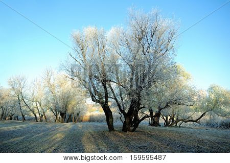 First Frost Tree, Frost